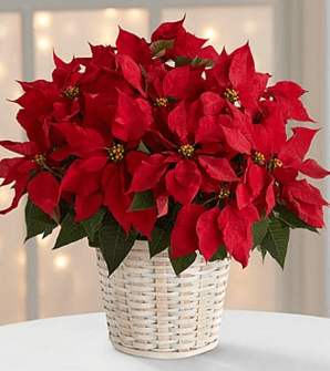 The Red Poinsettia Basket by FTD