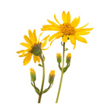 Arnica Oil - New Zealand Candle Supplies