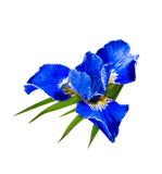 Blue Iris Fragrance Oil