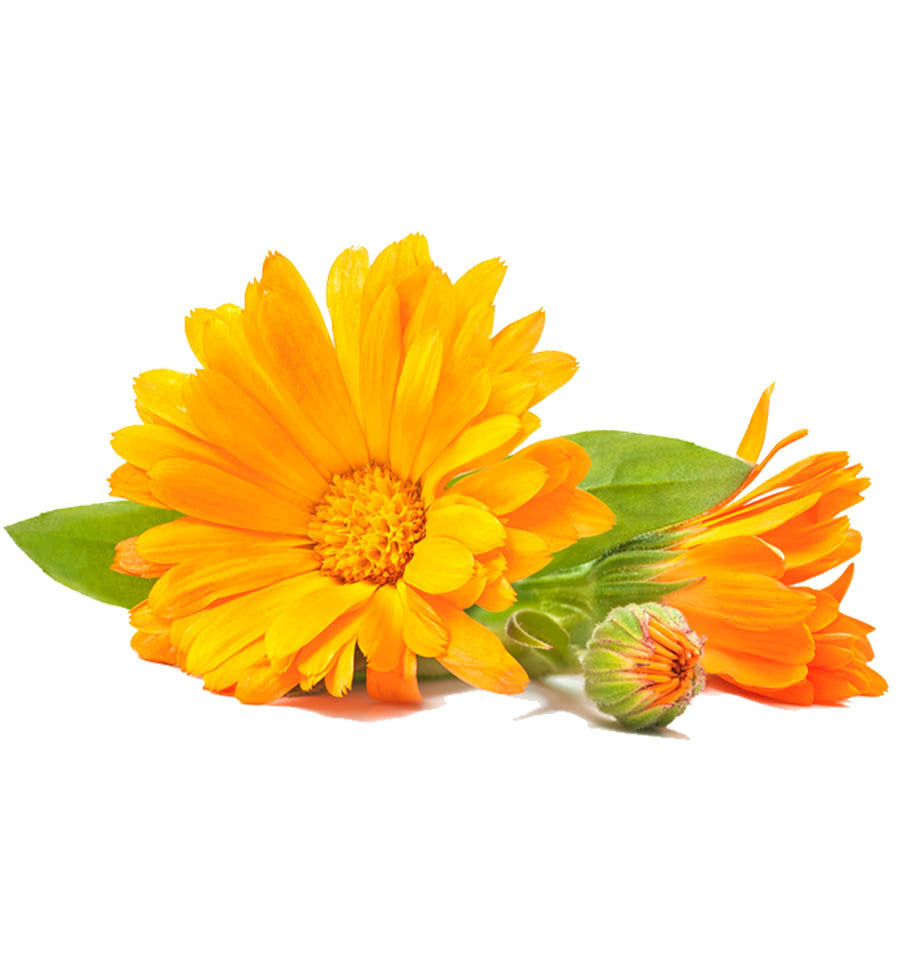 Fresh Calendula Carrier Oil Wholesale Supply Available