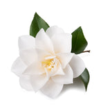 Camellia Seed Carrier Oil - New Zealand Candle Supplies