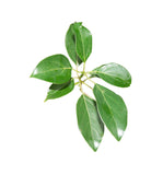 Camphor Essential Oil - New Zealand Candle Supplies