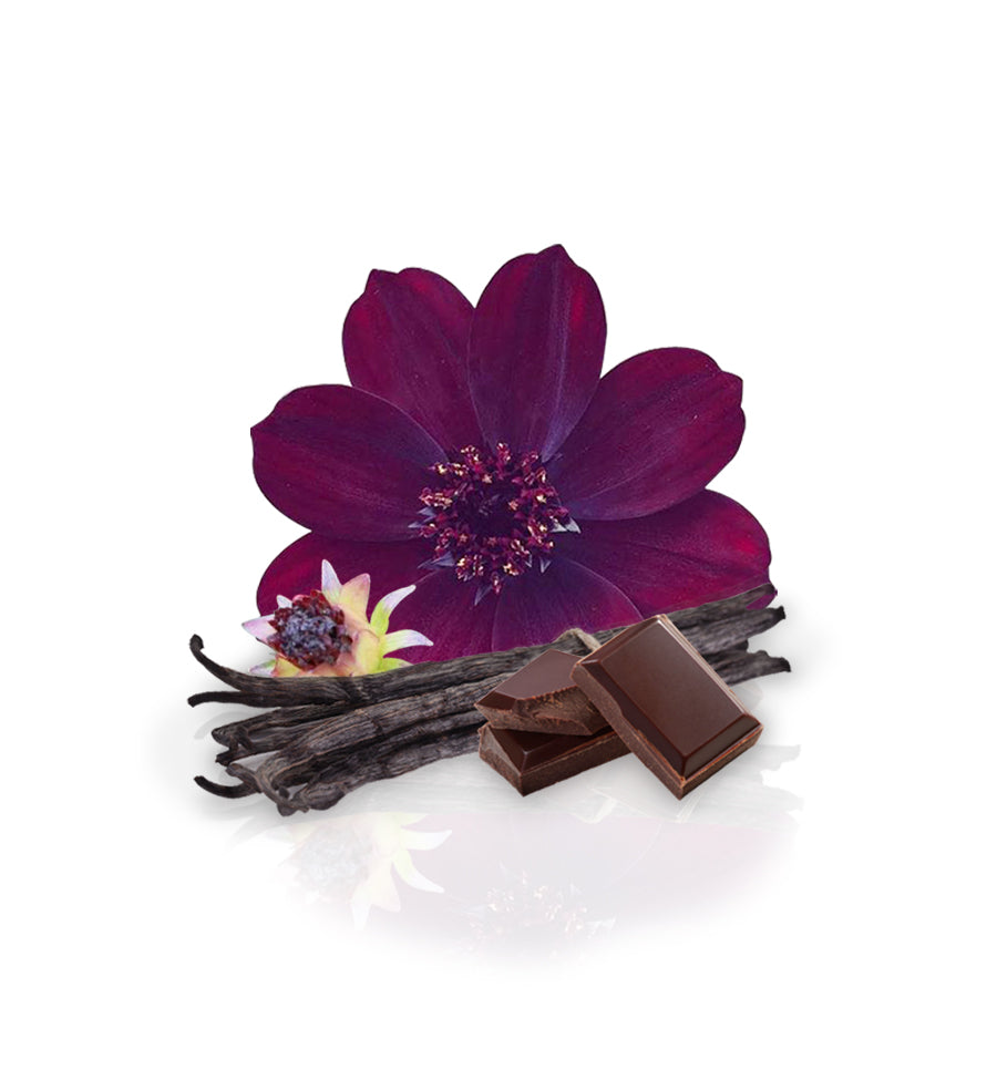 Chocolate Cosmos Flower Fragrance Oil