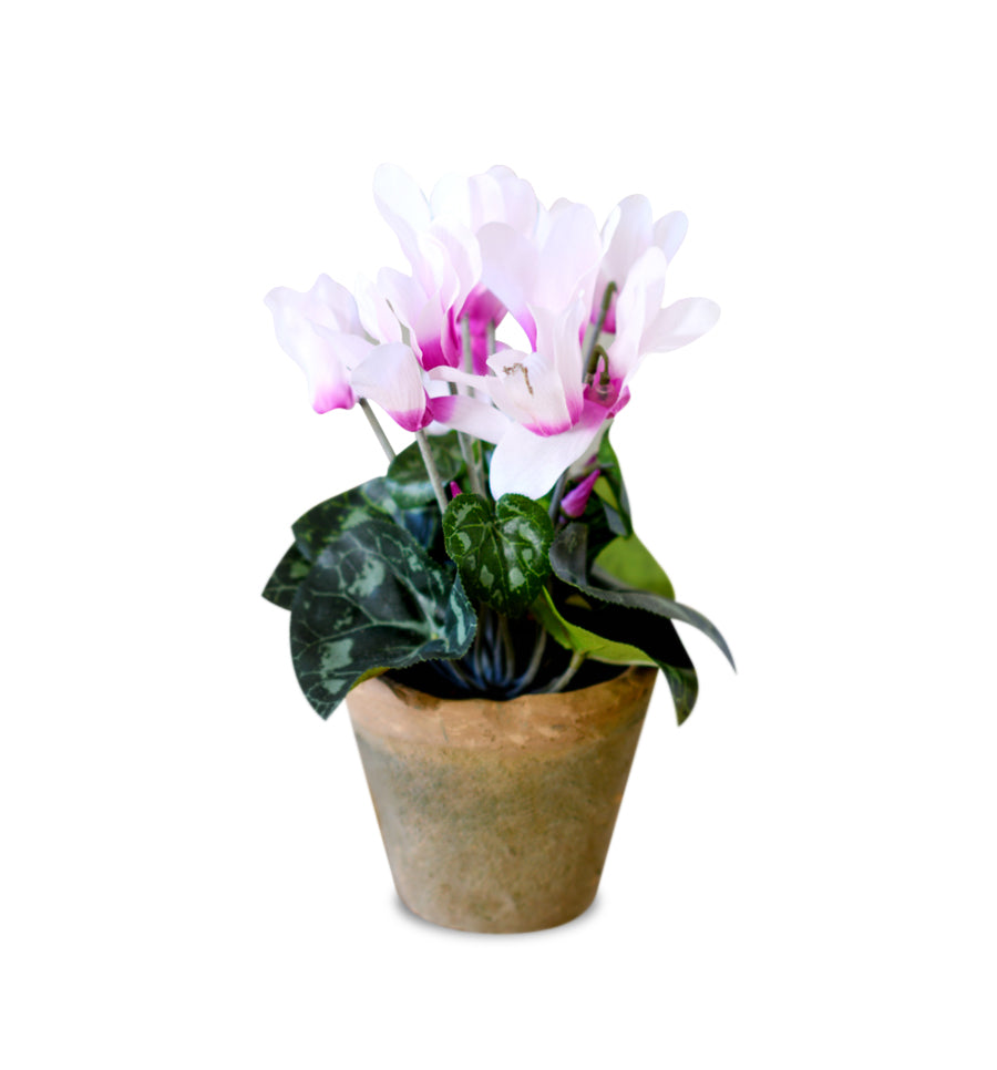 Winter Cyclamen Fragrance Oil