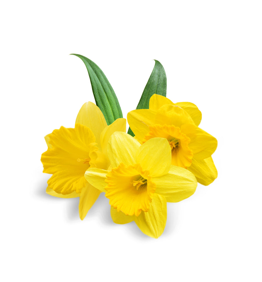 Just Daffodil Fragrance Oil