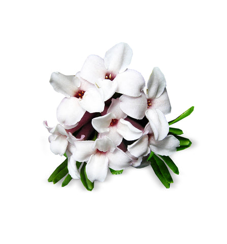 Frangipani Single Note Fragrance Oil