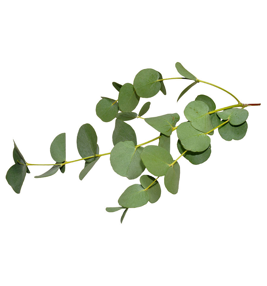 Eucalyptus Essential Oil - New Zealand Candle Supplies
