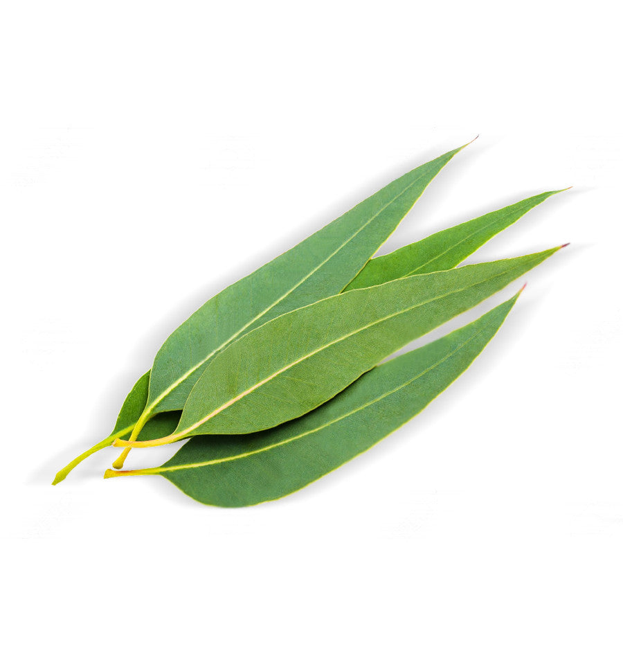 Eucalyptus Citriodora Single Note Natural Fragrance Oil - New Zealand Candle Supplies