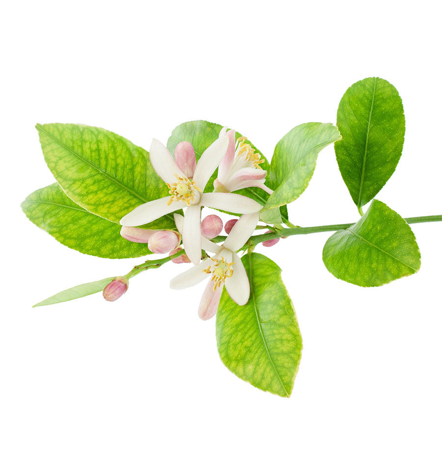 Lemon Blossom Natural Fragrance Oil - New Zealand Candle Supplies