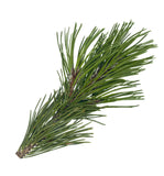 Spruce Essential Oil - New Zealand Candle Supplies
