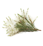 Tea Tree Essential Oil - New Zealand Candle Supplies