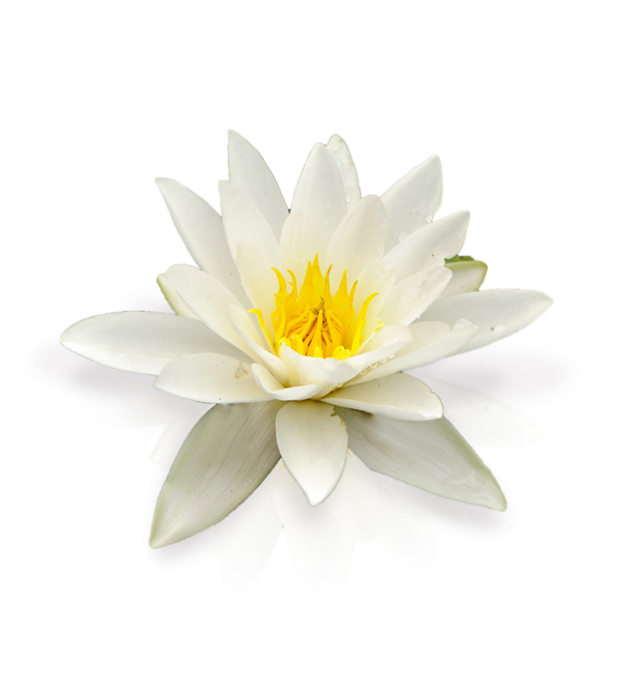 White Water Lily Fragrance Oil