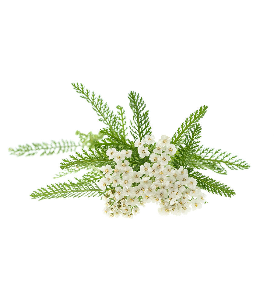 Yarrow Essential Oil - New Zealand Candle Supplies