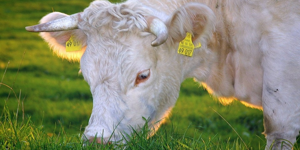 Grass-fed or Grain-fed Cattle - What's the Difference?
