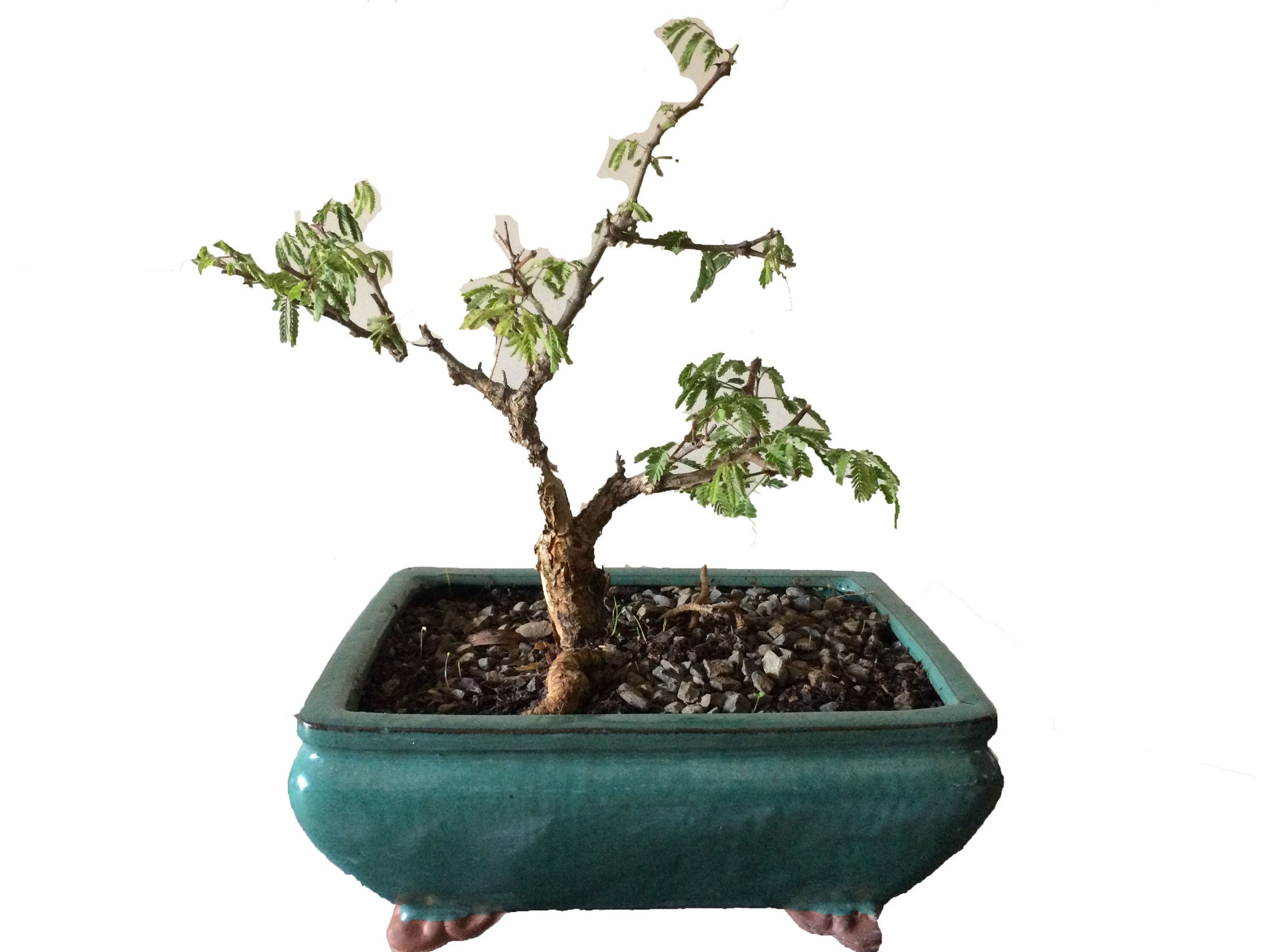 Bonsai Acacia Burkei (Black Monkey Thorn) - iloveza.com - 1