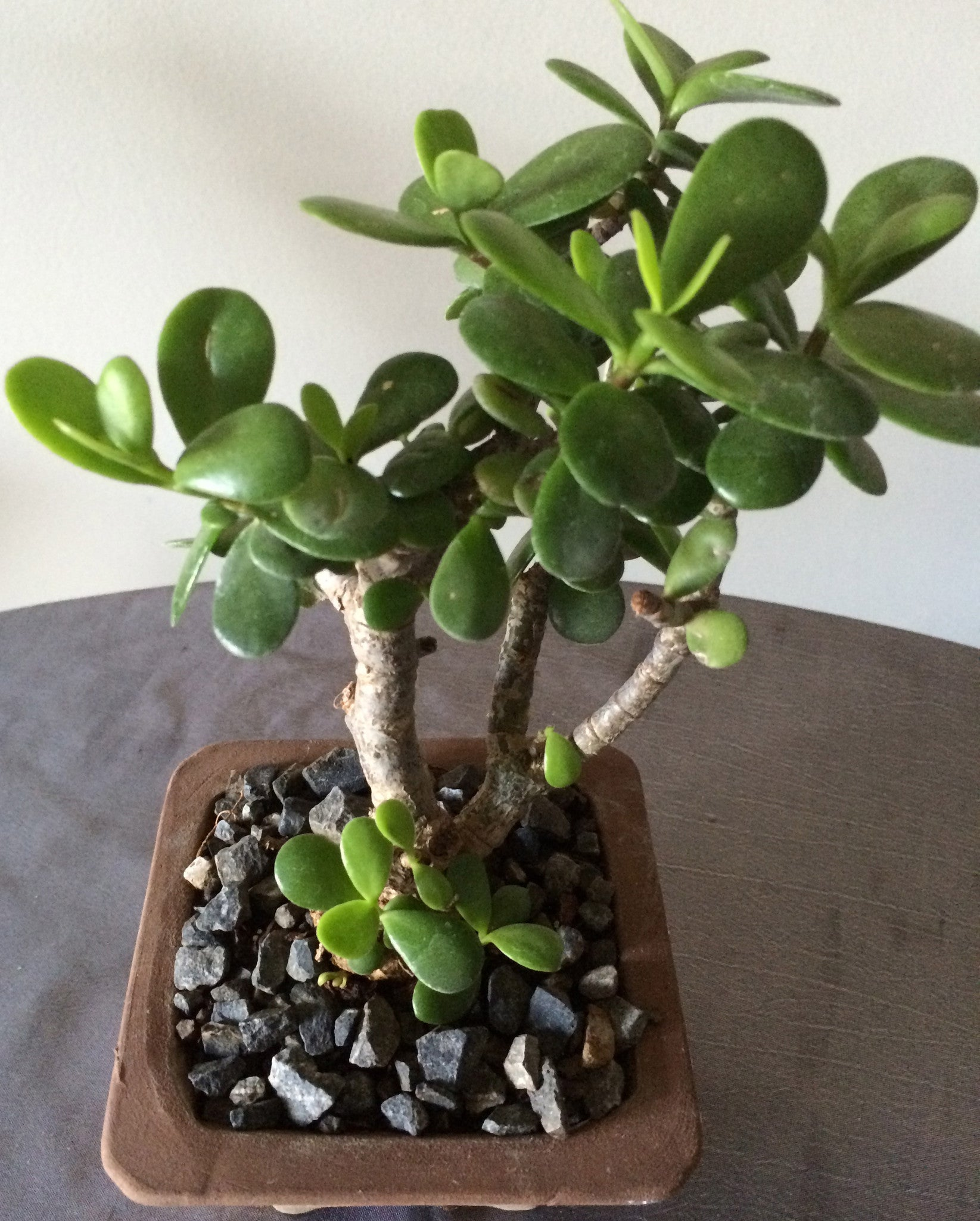 Bonsai Portulacaria Afra (Money Tree) - iloveza.com - 2