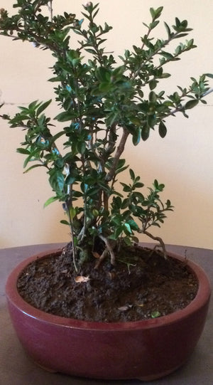 Bonsai Serissa Foetida (Tree of a Thousand Stars) - iloveza.com - 1