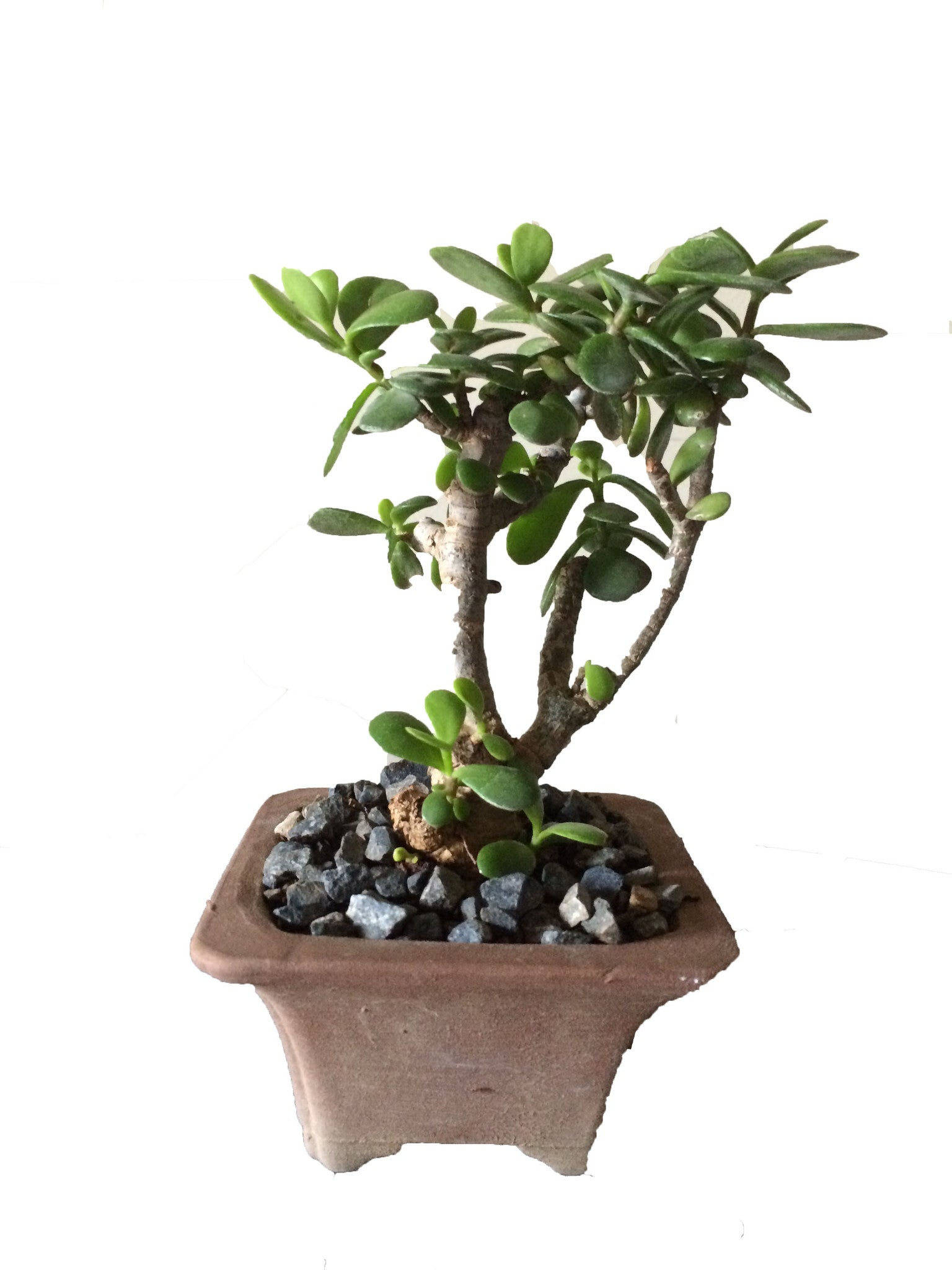 Bonsai Portulacaria Afra (Money Tree) - iloveza.com - 1