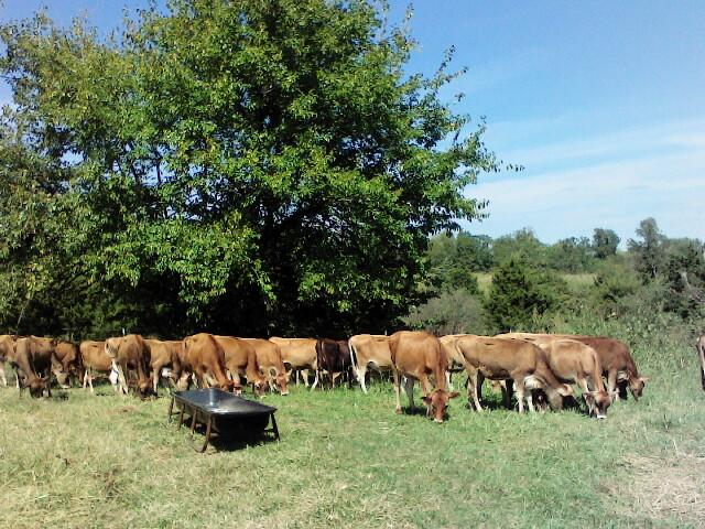 #DD1752 - Jersey Cattle - MO