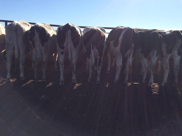 Listing #DD1168 - PRICE REDUCED 7+ Month Springers