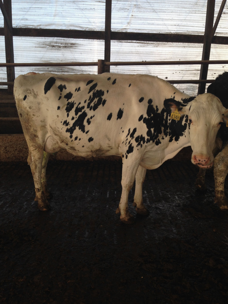 #DD1749 - Holstein A2A2 Wet Herd - OH