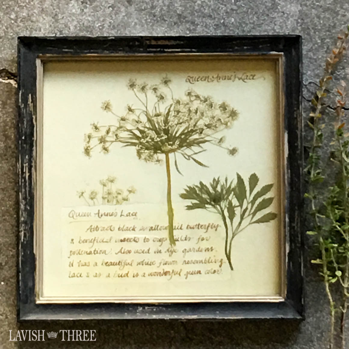 Queen anne's lace framed vintage botanical floral print wall art decor