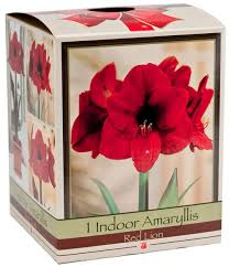 Amaryllis Indoor Growing Kit- Netherland Bulb