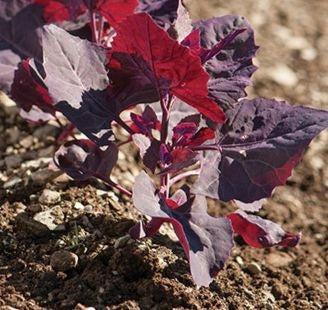 Orach, Purple