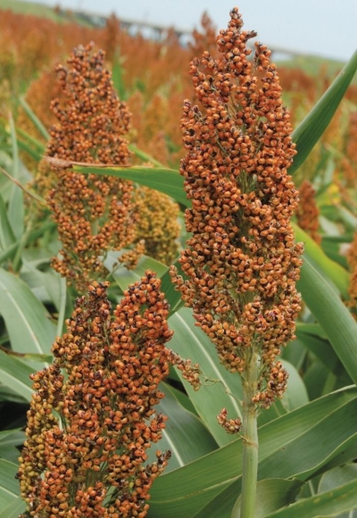 Rox Orange Syrup Cane Sorghum