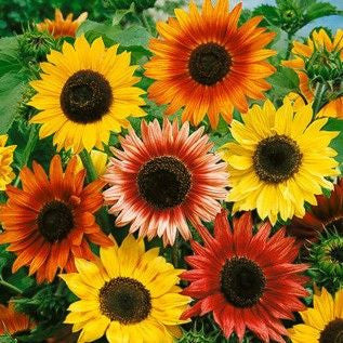 Autumn Beauty Sunflower Mix
