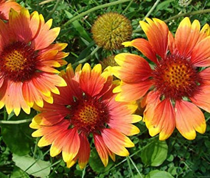 Gaillardia Indian Blanket