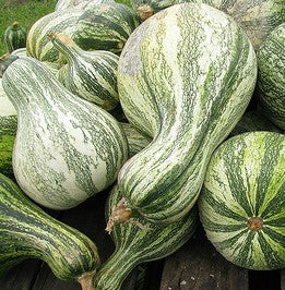 Green Stripe Cushaw Pumpkin