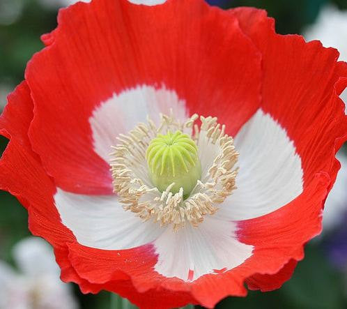 Poppy - Danish Flag
