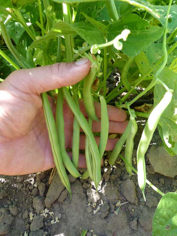 Harvester Bush Bean