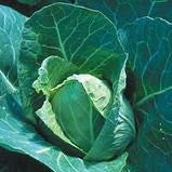 New Jersey Wakefield Cabbage