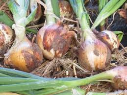 New York Early Dry Bulb Onion