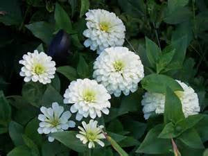 "Zinnia ""Polar Bear"""