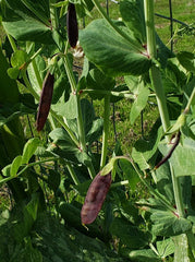 Blue Podded Pea