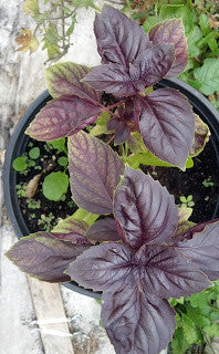 Dark Purple Opal Basil