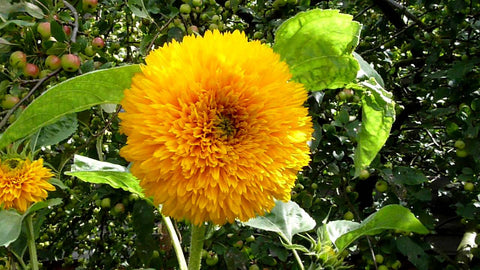 Sunflower, Dwarf Sungold