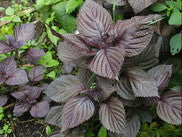 Red Shiso Basil