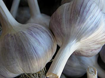 Spanish Roja Seed Garlic
