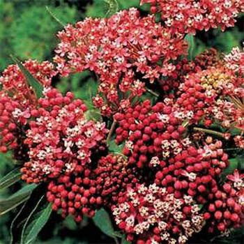 Butterfly Weed, Carmine-Rose