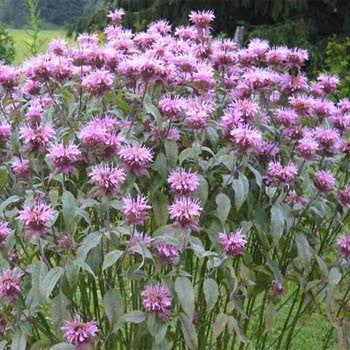 Mintleaf Bee Balm