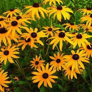 Wildflower Mix: Northeast