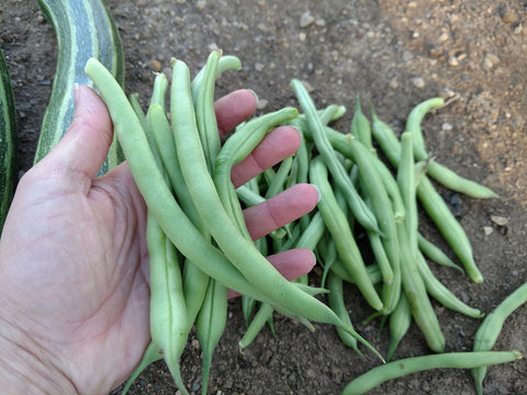Blue Lake Bush Beans