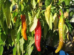 Charleston Hot Pepper