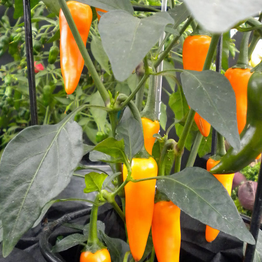 Bulgarian Carrot Pepper - Hot