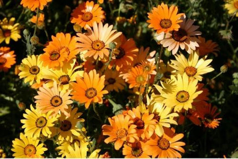 African Daisy Mix