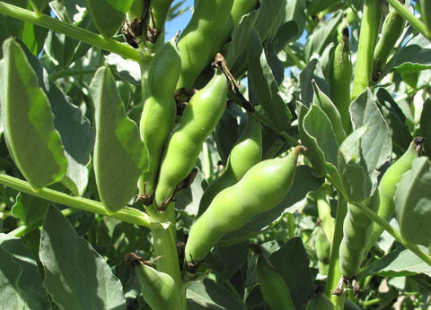 Broad Windsor Fava Bean